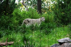 Central Park Zoo - Snow Leopard